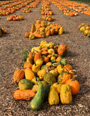 oct-2016-fall-pics-028-pumpkin-rows
