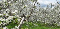 apple tree orchards