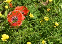 field of poppy
