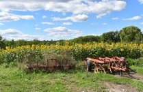 sunflowers and tractors